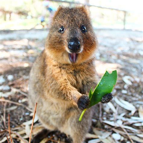 imagenes del animal wombat quokkas are the happiest animals in the world bored panda