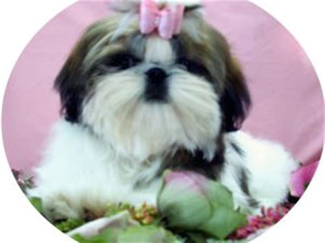 shih tzu puppies for sale in buffalo ny shih tzu puppies in new york