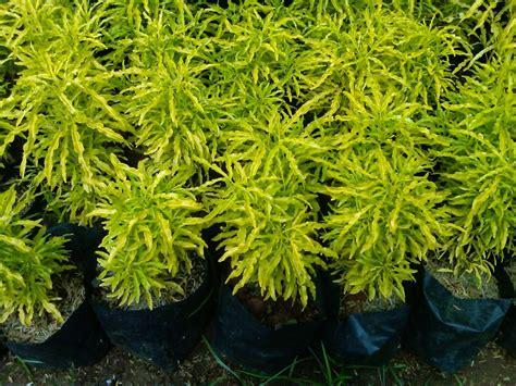 peluang usaha budidaya bunga brokoli kuning  analisa