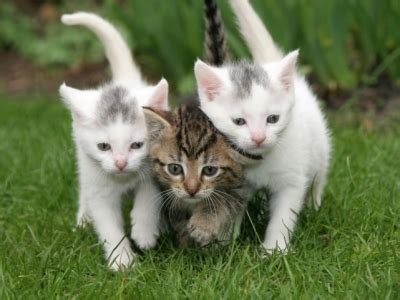 three cute kittens 3 kittens cats photo 33268590 fanpop
