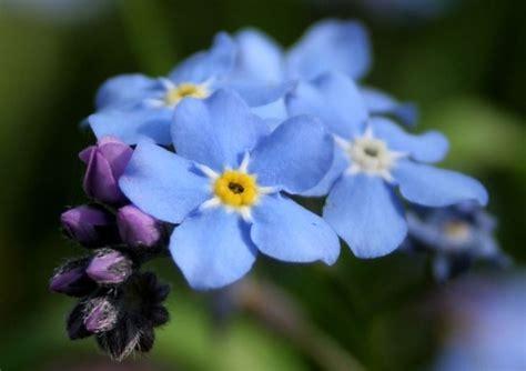 fiori azzurri nomi i fiori azzurri fiori per cerimonie fiori colore azzurro