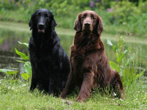 flat haired golden retriever flat coated retriever dodogs