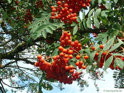 rowan tree fruit european mountain ash rowan sorbus aucuparia