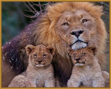 imagenes de leones y sus cachorros imagenes de leones con sus cachorros archivos imagenes