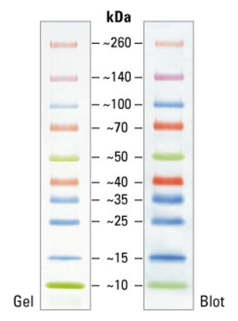 protein ladder spectra multicolor broad range protein ladder thermo