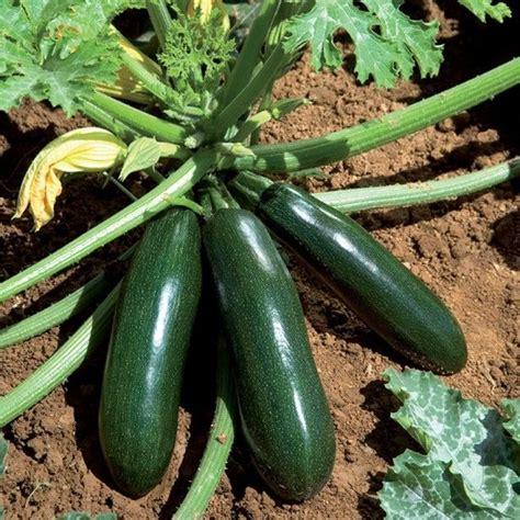 Planter Des Courgettes by Courgette Longue Astia F1 En Plants Une Vari 233 T 233 Pr 233 Coce