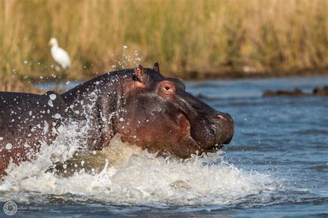 hippopotamus chasing a boat hippo facts information pictures vidoe s learn more