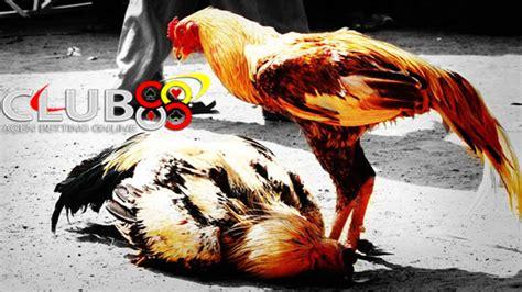 Bibit Ayam Bangkok Asli ciri khas ayam bangkok asli f1 berasal dari thailand