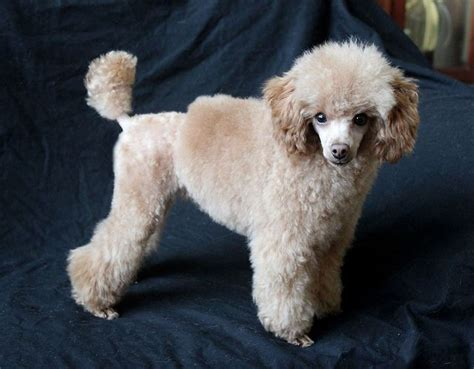 hairstyles poodle cut toy poodle haircuts styles finished product by