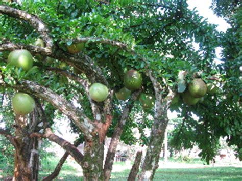 tree with gourd like fruit the gourd tree danforths daysdanforths days