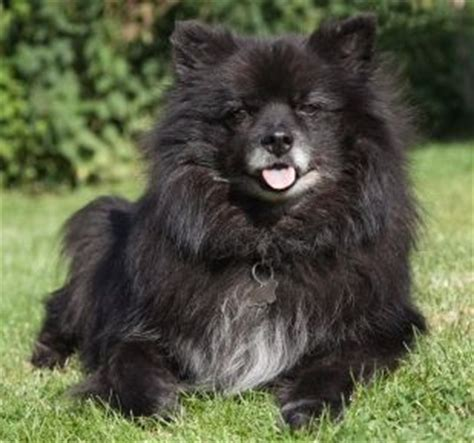 types of pomeranian mixes chihuahua pomeranian mix lots of pictures including different types of