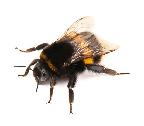Bumble Bee Removal