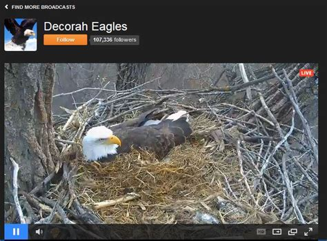 the best bald eagle cams the infinite spider