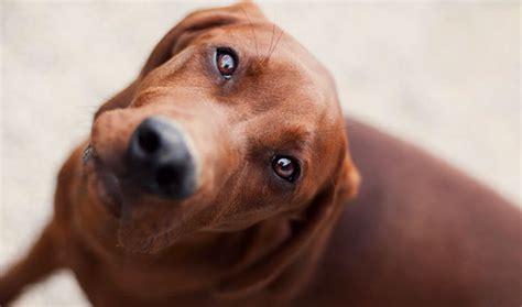 Hw Regbone redbone coonhound breed information