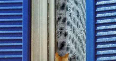 peeping tom curtains greek cat in window famous santorini cats by