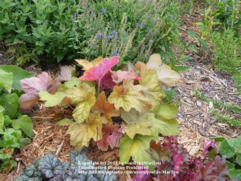 southern comfort coral bells photo of the entire plant of coral bells heuchera