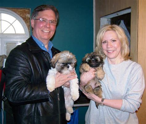 how big will a shih tzu get how big do shih tzu puppies get assistedlivingcares