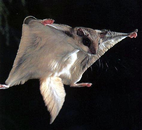 brits in the usa f is for flying squirrel