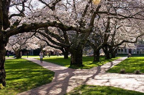 d c cherry trees d c cherry trees blooms won t wait in warming world research finds