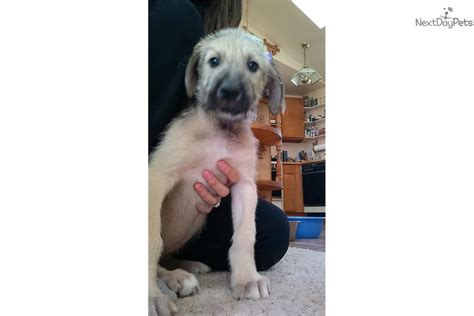 wolfhound puppies for sale near me wolfhound puppy for sale near reno tahoe nevada d59fffab 2aa1