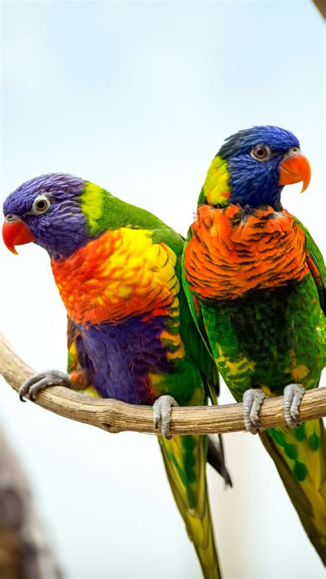 wallpaper parrots pair red beak hd  animals