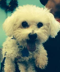yorkie rescue oklahoma city king terrier pomeranian mix small oklahoma westie rescue
