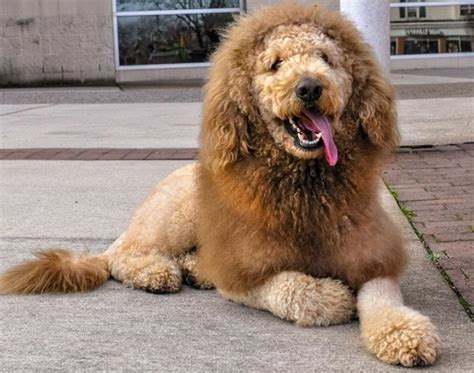 dogs that look like lions the labradoodle who looks like a