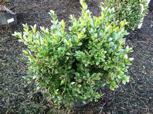 shrubs evergreen