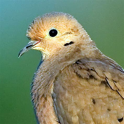 mourning dove call iphone ringtone wildtones