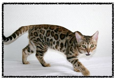 exotic house cats exotic domestic cat breeds newhairstylesformen2014 com