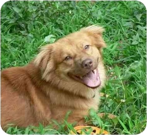 australian shepherd puppies ct buddy adopted wallingford ct golden retriever australian shepherd mix