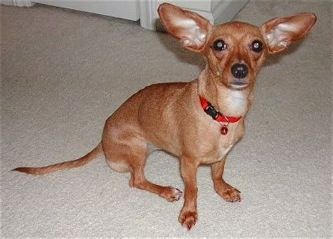 chihuahua and weiner mix chiweenie breed information and pictures