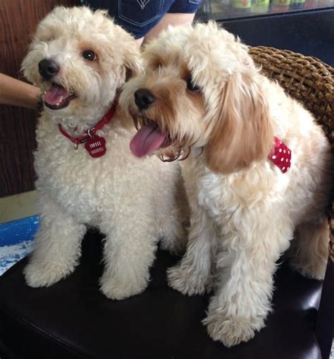 mini doodle cavapoo 17 best images about oodle cavoodle cavapoo on