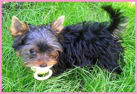 a baby yorkie 1000 images about baby yorkies on yorkies so and puppies