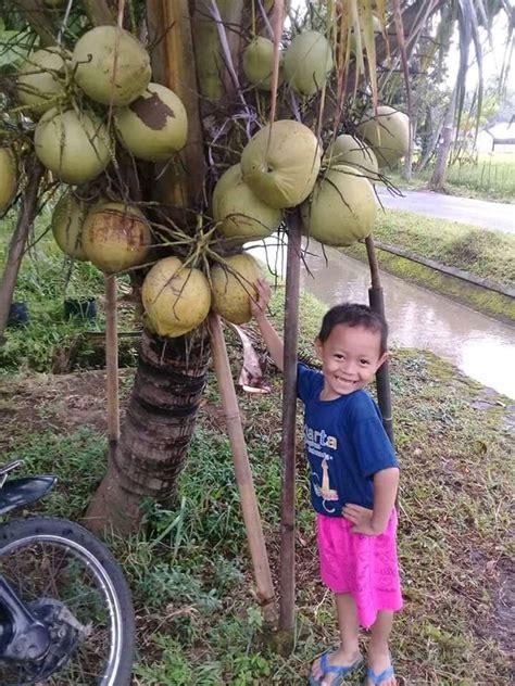 Bibit Kelapa Genjah Entok Murah 085315004765 jual bibit kelapa genjah entok home
