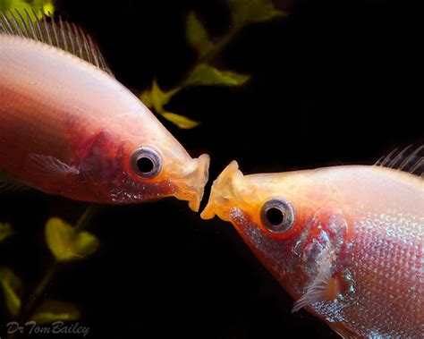 Big Elips Rainbow Premium fish for sale aquariumfish net