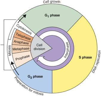 cell cycle diagram wahs biology cellreproduction