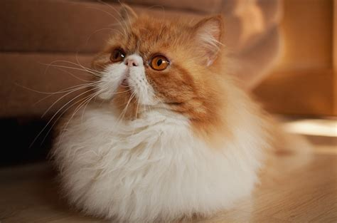 top  long haired cat breeds