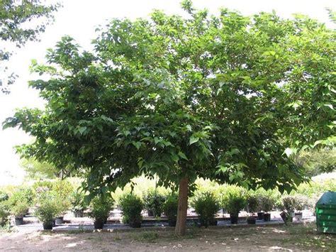 fruitless y morera platanifolia morus alba kagayamae morera