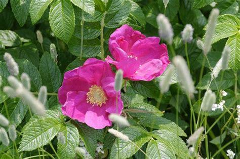 wandlen rosa gc6vvtw wandelen met rosa 2 robbenzand multi cache in