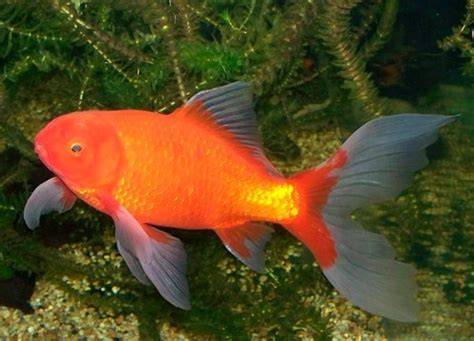 comet goldfish the care, feeding and breeding of comet