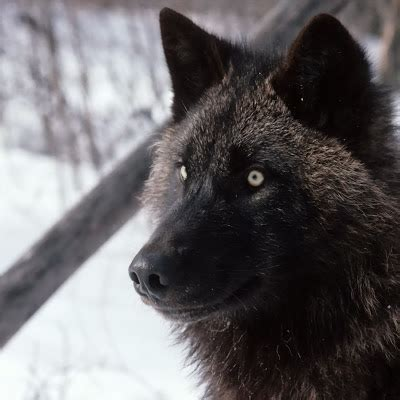 wallpaper serigala hitam foto dan wallpaper serigala ukuran besar
