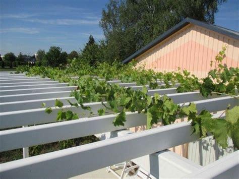 comment tailler une treille de raisin comment faire pousser une vigne sur une pergola ou une