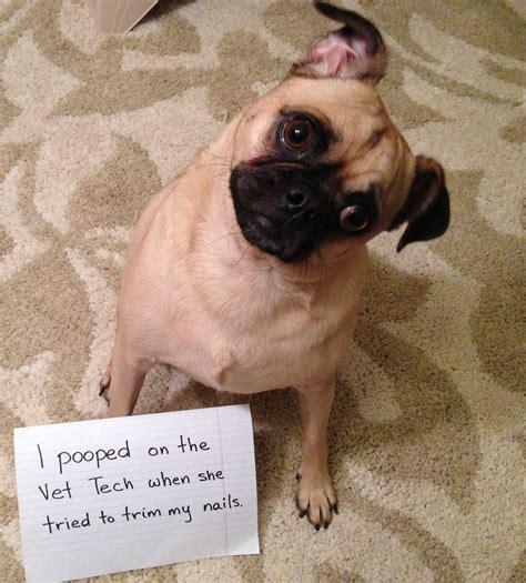 pug rescue canada more puggie shaming