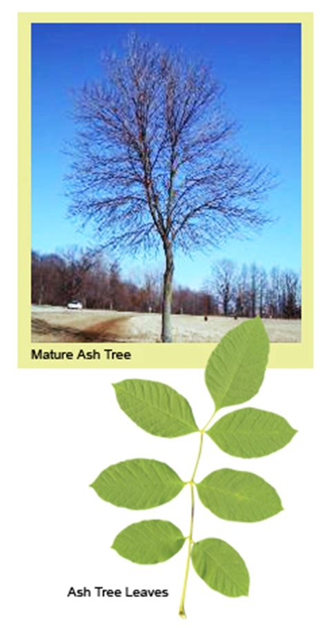 heritage lawn and landscape eab protect your ash trees