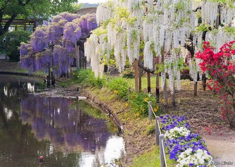 ashikaga flower park ashikaga flower park honshu japan wisteria pinterest