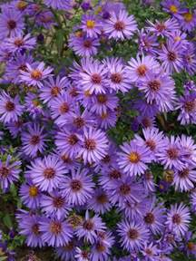 aster color aster wood s purple bluestone perennials
