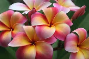 plumeria colors can a plumeria change color the lazy gardener