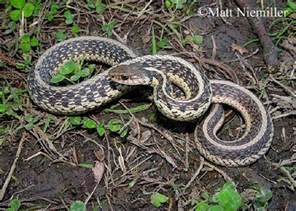 Garden Snake Tn Tennessee Watchable Wildlife Common Gartersnake