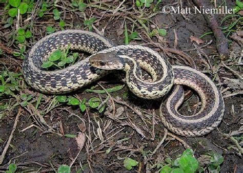 Garden Snake Tennessee Tennessee Watchable Wildlife Common Gartersnake